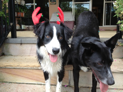 Christmas dogs cropped